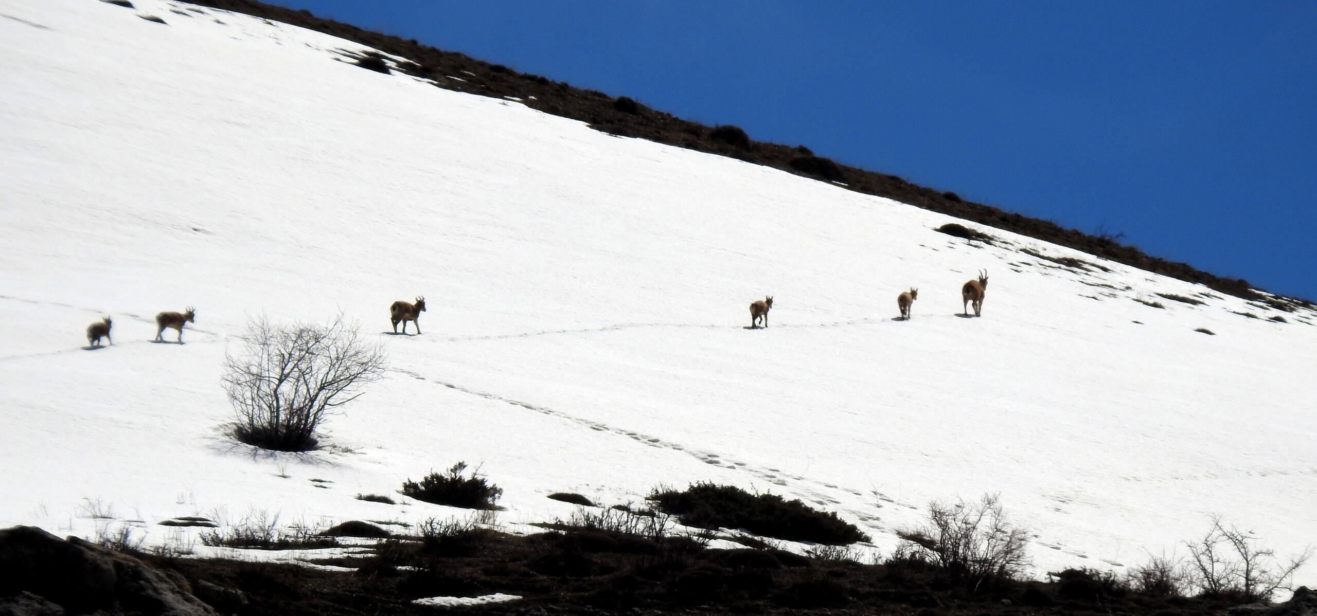 Koruma altındaki çengel boynuzlu dağ keçileri Munzur Dağı'nda görüntülendi