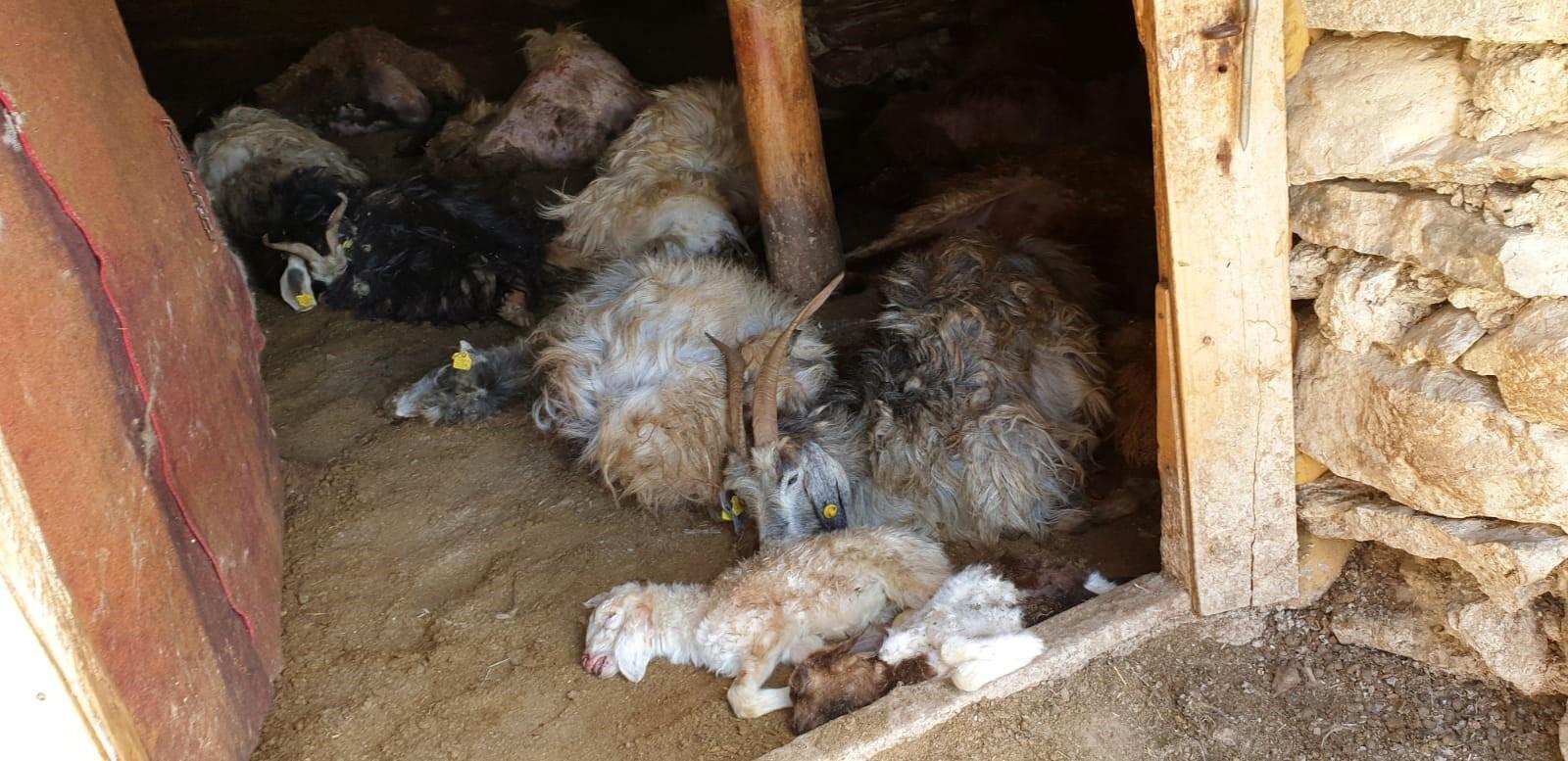 Damdan ahıra giren ayı 50 hayvanı telef etti