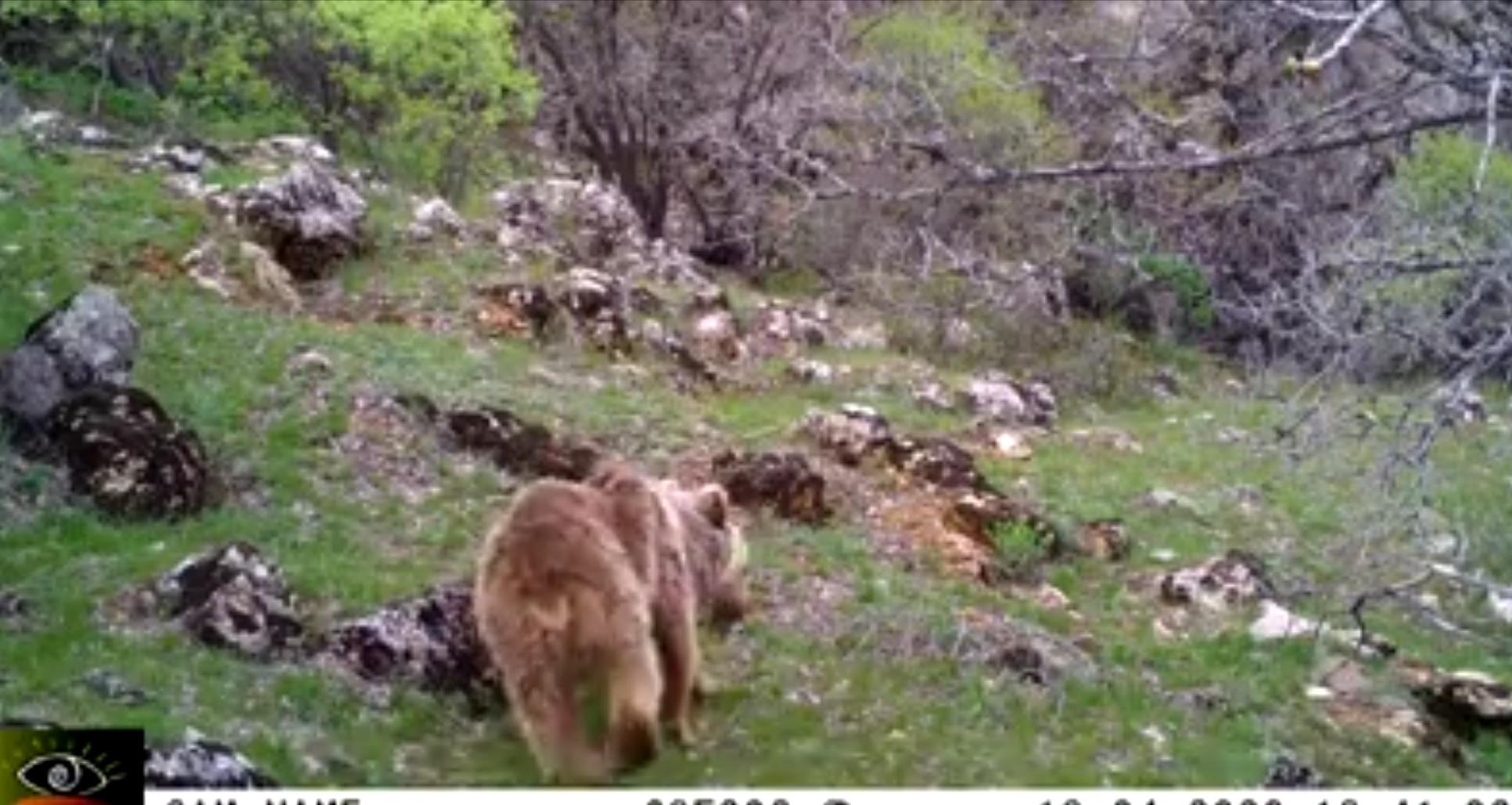 Malatya'da fotokapan ayı yakaladı