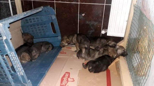 Iğdır'da bulunan yavru kurtlar koruma altına alındı