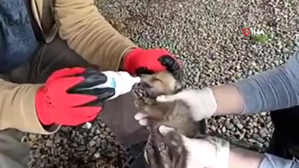 Kırsalda bulunan kurt yavruları koruma altına alındı
