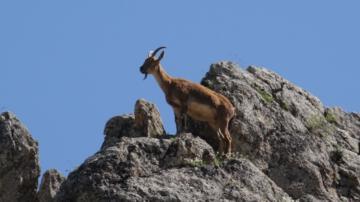 Tunceli'de dağ keçisi avlattırma AYIBI ihalesi iptal edildi