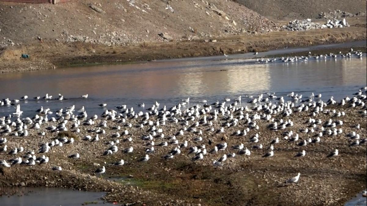 Göçmen martılar Murat Nehri ni mesken tuttu