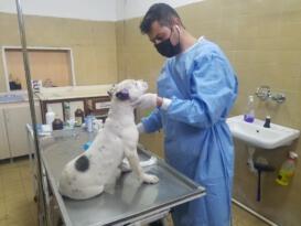 Iğdır'da kulakları kesilen Pitbull tedavi altına alındı