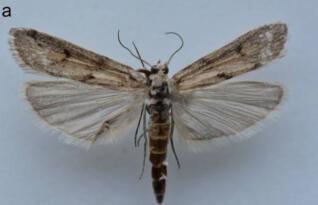 Iğdır İlinin Adı Yeni Keşfedilen Kelebeğe Verildi